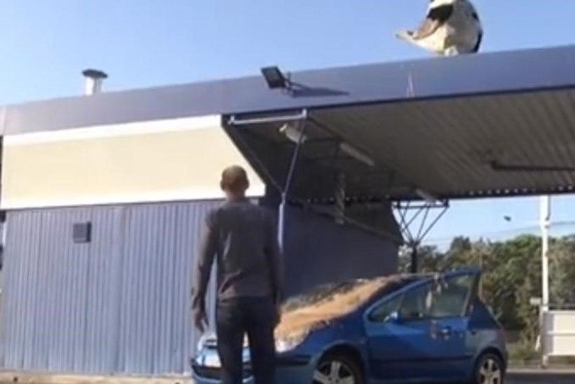 VIDEO: hiiglaslik roojav tuvi ajas autoomanikul närvi mustaks