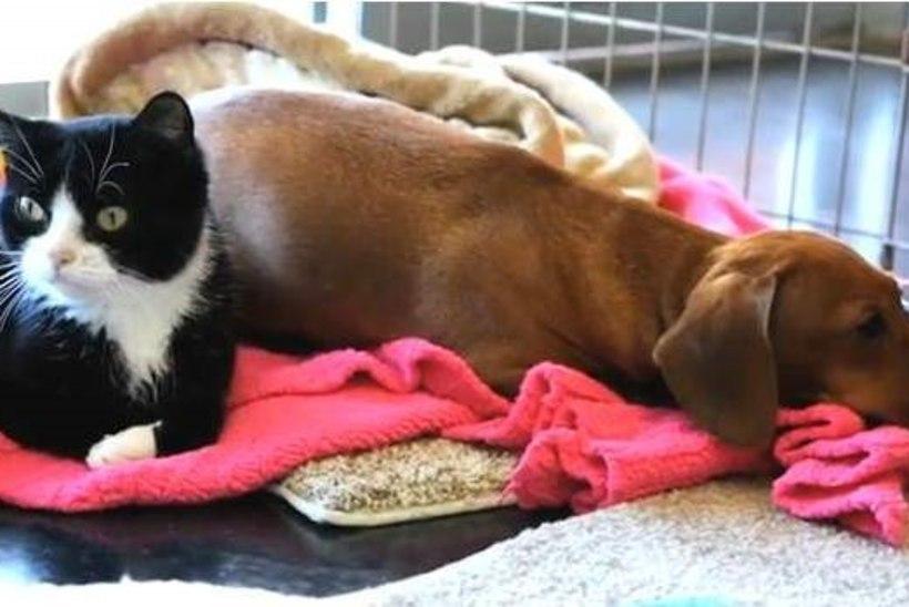 VIDEO: hüljatud taksikoer ja liikumispuudega kass on lahutamatud sõbrad