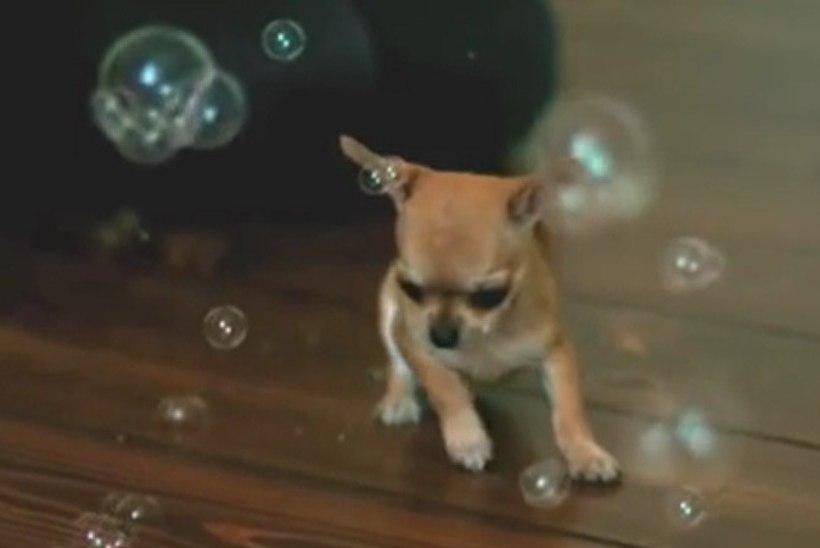 NUNNUMEETER PÕHJAS: vaata, kuidas pisike chihuahua aegluubis seebimulle püüab!