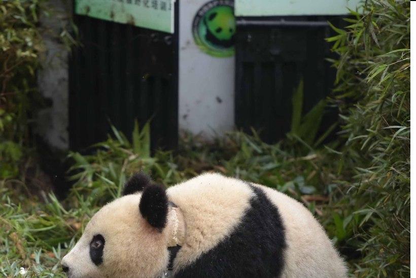 VIDEO: Hiinas üllatas turiste metsik panda