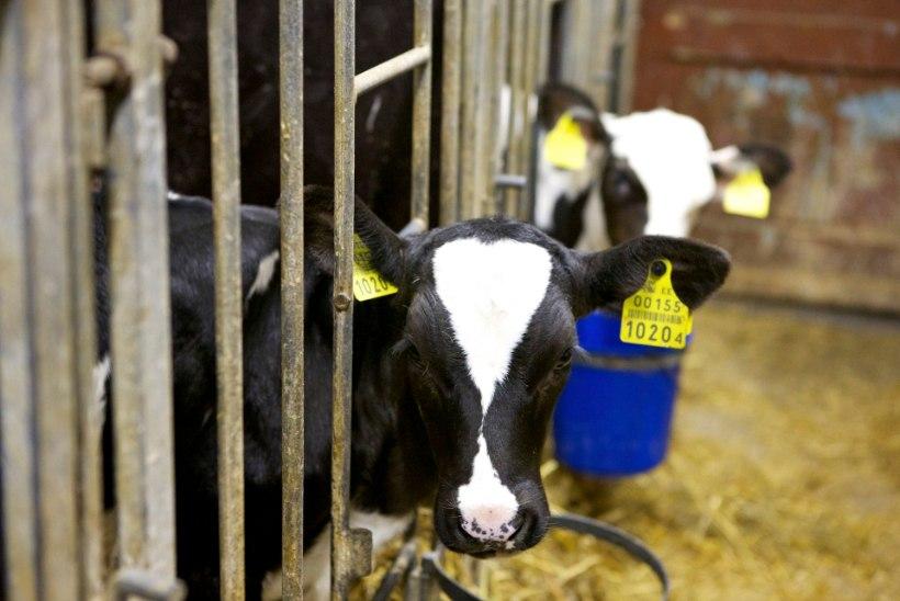 Ebola hirm võttis raha Baltimaade piimatootjatelt