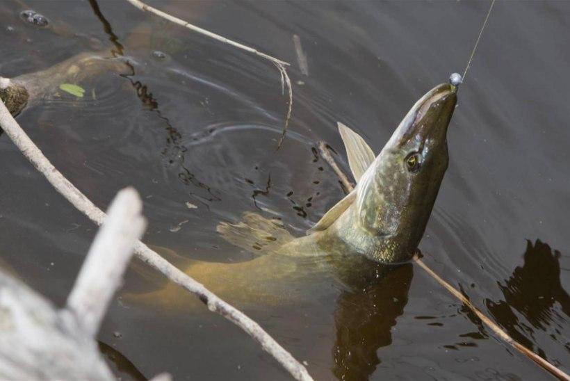 Miks kala võtab siis, kui ta võtab?