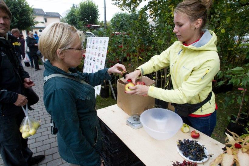 GALERII: Onu Bella õpetas Türi õunafestivalil veini valmistama