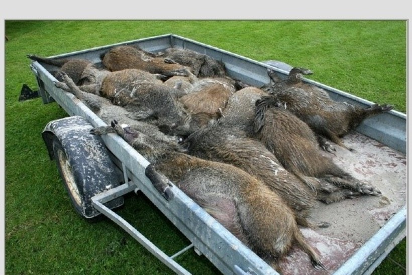 Saaremaal võis seakarja uppumise põhjustada hunt