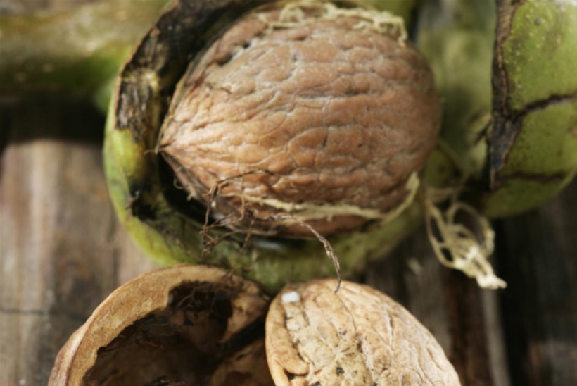 Kreeka pähkel. Pähklipurejate pidu