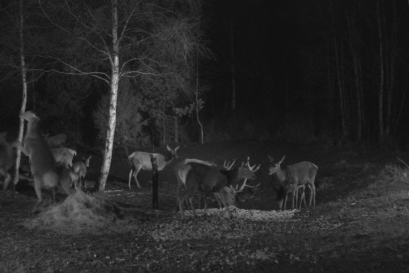 FOTO I Haruldane vaatepilt: RMK hirvekaamera ette jäi korraga 16 looma!