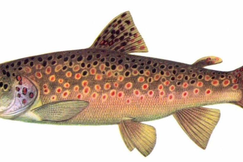 Jõeforell: tsaari kala, iidsest ajast au sees