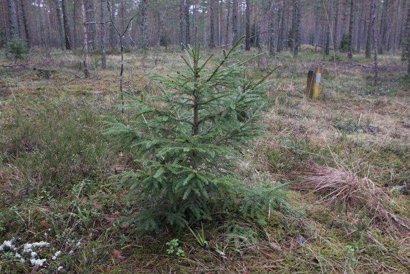 Kas teate, et jõulukuuse järel metsas käimine on mujal maailmas tõeline luksus?