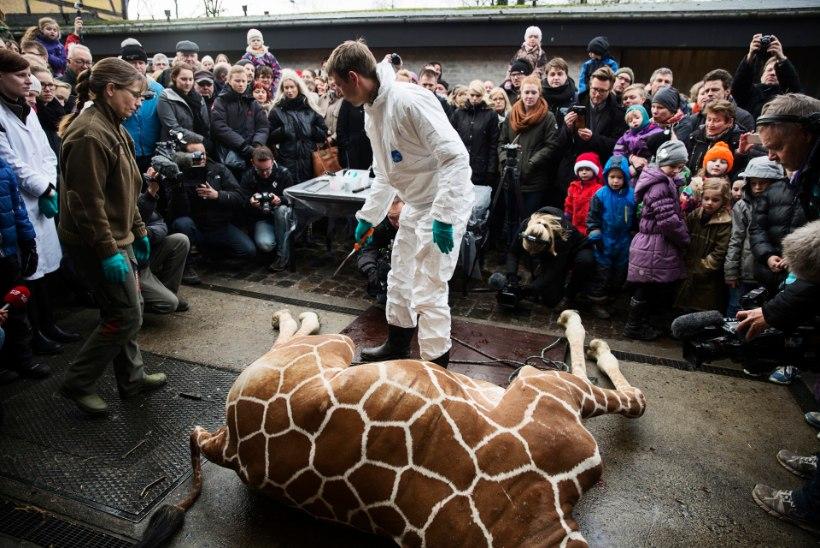 Taani loomaaias tükeldati laste silme all kaelkirjak. Artikkel sisaldab häirivaid fotosid!