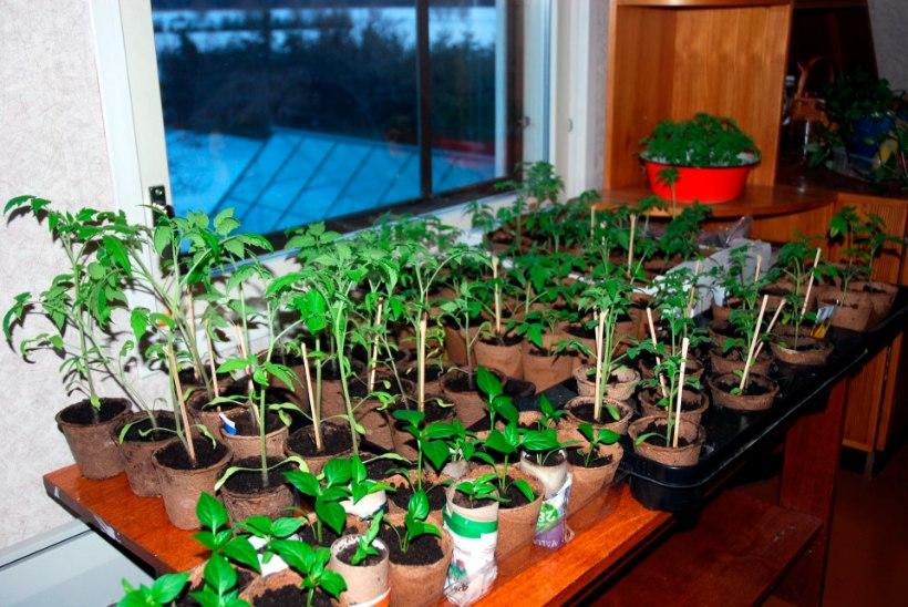 Räpina aianduskool jagas eksperimendi jaoks tomatitaimi