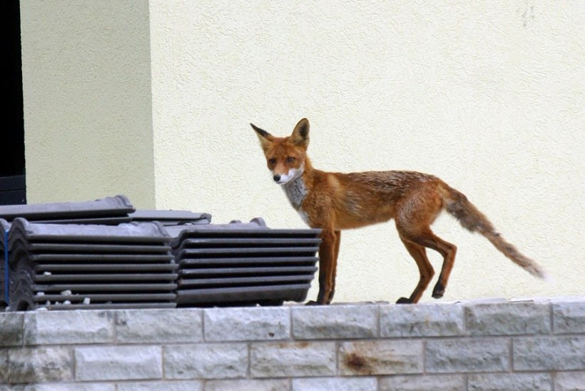 Loomakaitsjad: linnarebase toitmine on kurjast, kanakull las püüab tuvi!