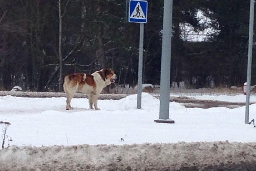 Penikarjaga hädas vanadaam: koerad ründasid, pidin koju pääsemiseks malaka kätte võtma!