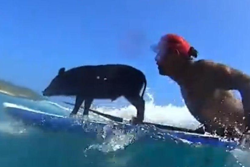 VIDEO: Hawail püüab rannaskäijate pilke surfav siga!