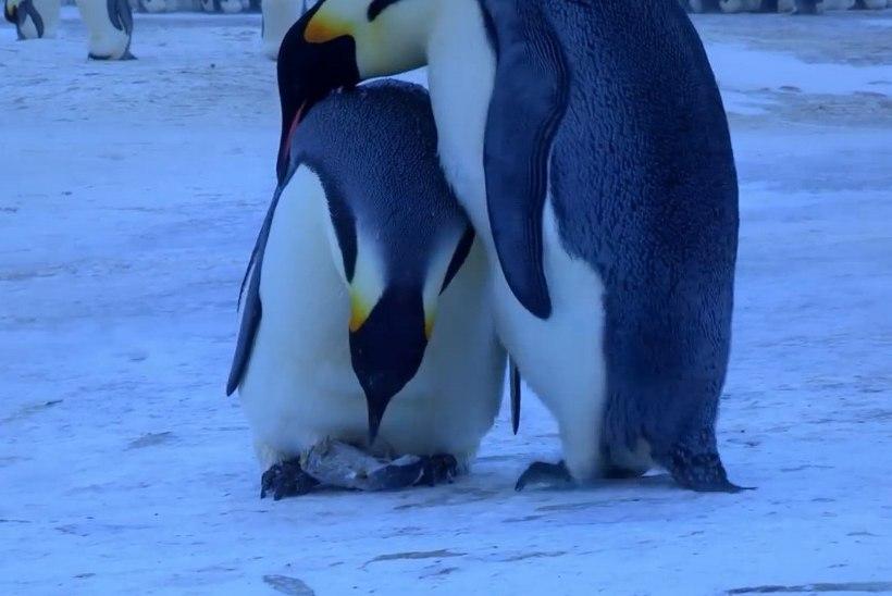 SÜDANTLIIGUTAV VIDEO: pingviinipaar üritab oma hukkunud järeltulijat elustada