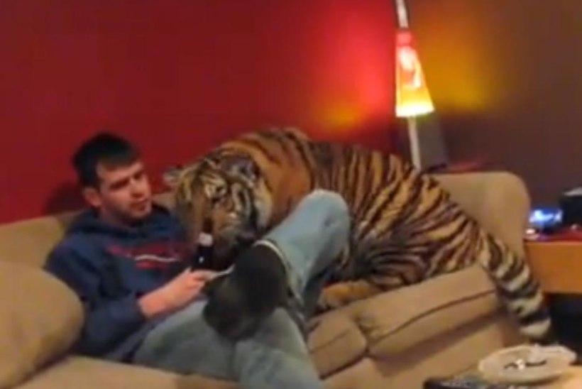 VIDEO: sõbralik tiiger jalutas mööda korterit ja otsis pitsat!