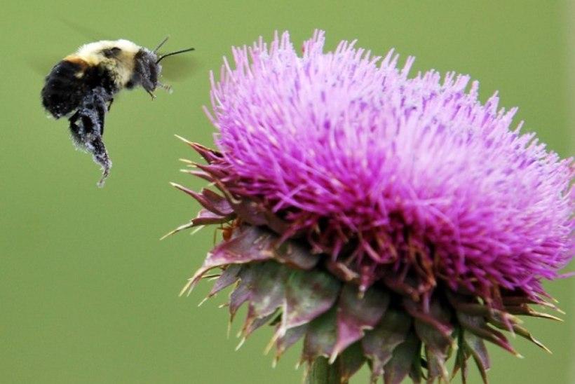 Lopsaka aia saladus: meelita mesilane aeda!