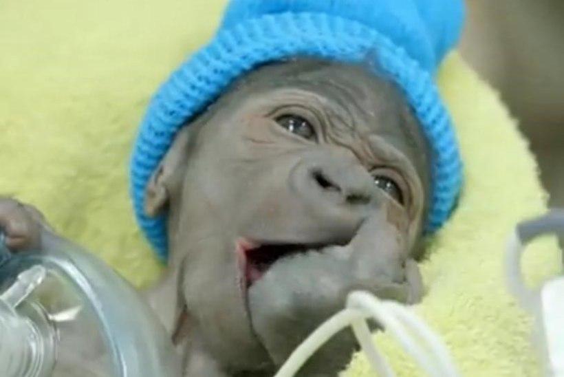 ARMAS VIDEO: gorillabeebi tuli ilmale keisrilõike abil