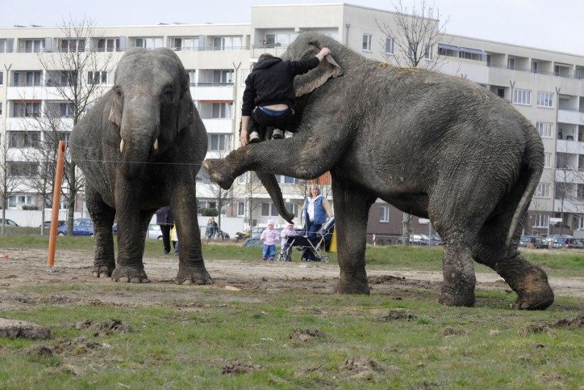 VIDEO: elevandid tegid tsirkusest vehkat ja lõhkusid autosid