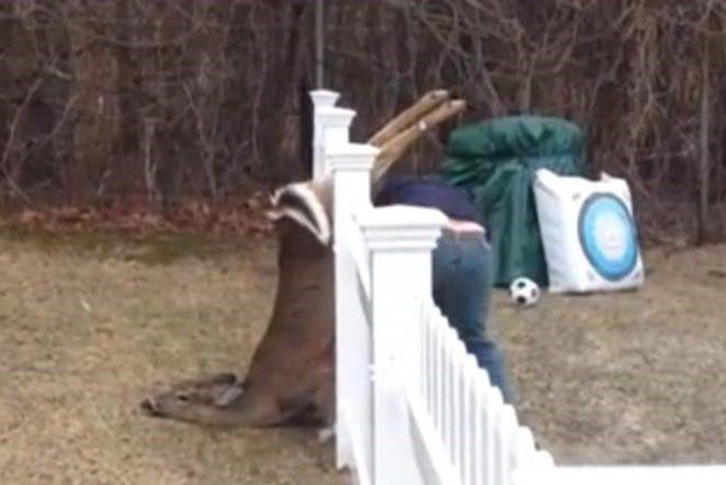 VIDEO: perekond päästis aia vahele kinni jäänud hirve