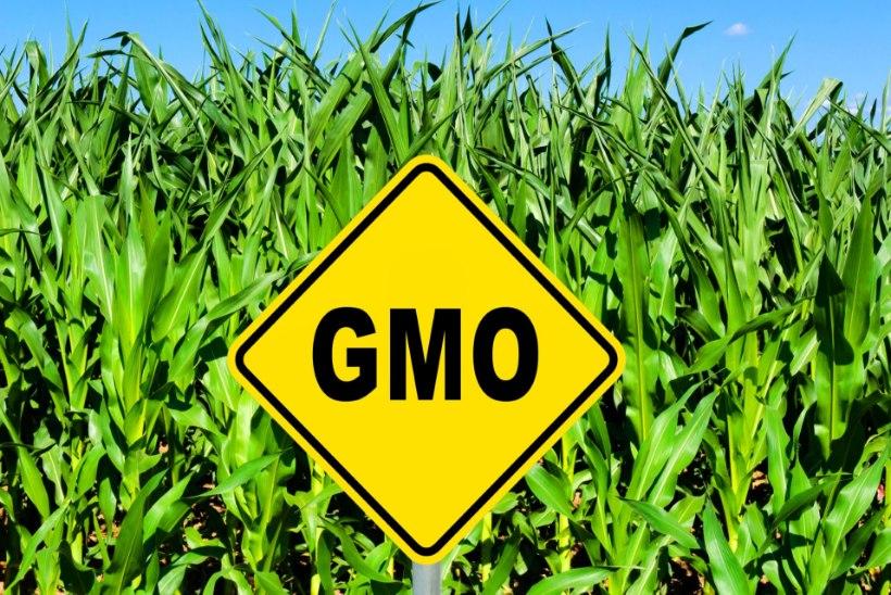 Eesti toetab USA geenmuundatud maisi kasutamist Euroopas