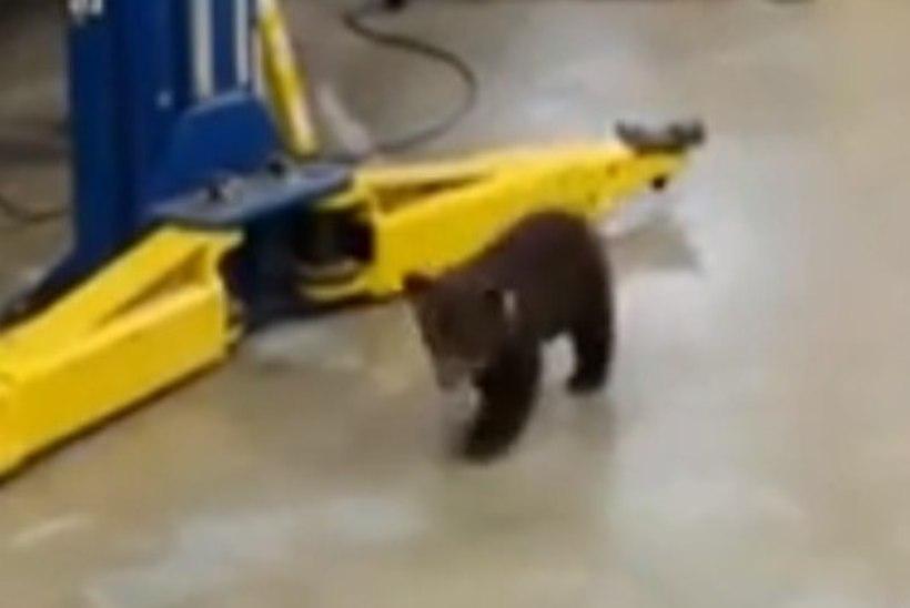 VIDEO: pisike eksinud karumõmm otsis mööda garaaži oma ema taga