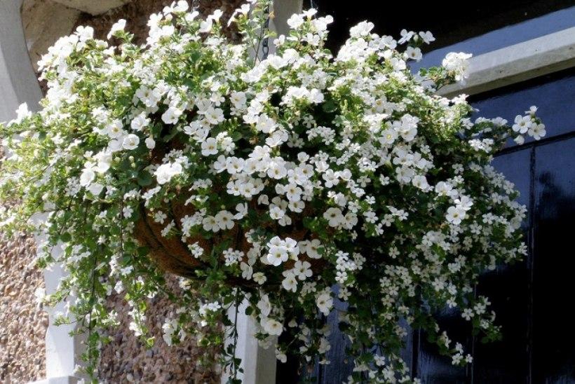 Õitest pakatavad lilleamplid: viis asjalikku amplitaime, milles ei pea pettuma