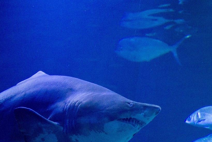 AKVAARIUMI TÖÖTAJAD ŠOKIS: suurem hai üritas väiksemat ära süüa ja sülitas ta 40 minutit hiljem elusana välja