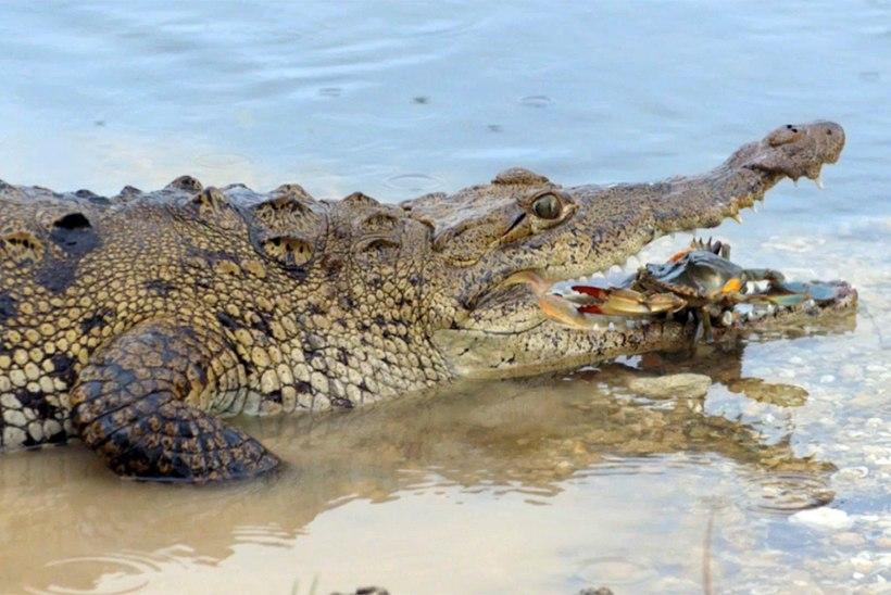 VALUS: 114 kilo kaalunud raamatupidaja kukkus tsirkusekrokodillile peale, loom vajas veterinaari abi