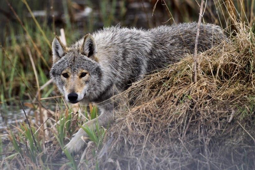 KURB LÕPP: loomapargi jooksus hundid on maha lastud!