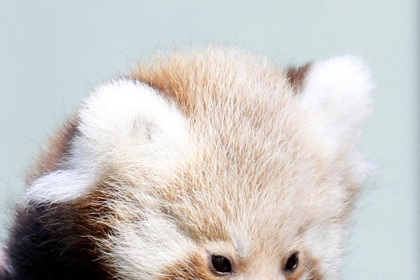Rootsi loomaaias sündisid imearmsad pandabeebid!