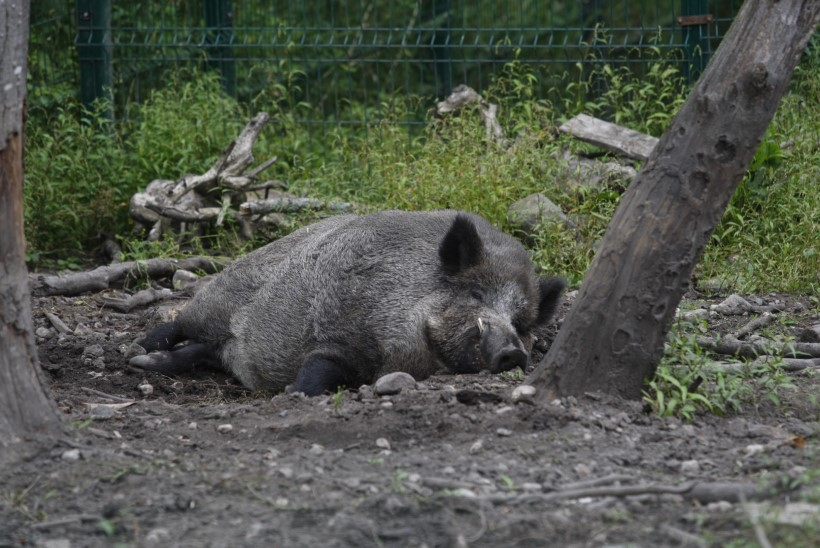 Saaremaal kihutasid kolm põrsakest praamile