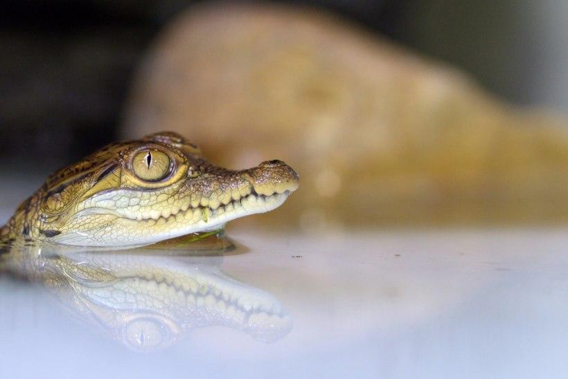 VIDEO: Rootsi loomaaias koorus Skandinaavia esimene krokodillipoeg!