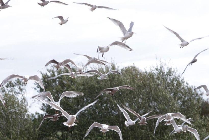 Toitu ootavad tuvid ja kajakad rikuvad Tartu linnaelanike rahu