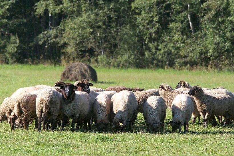 Hundid murdsid Järvamaal kahe ööga 30 lammast