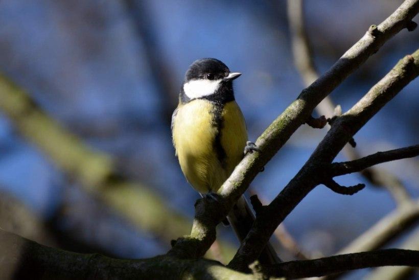 Linnulaul peletab talvemasenduse