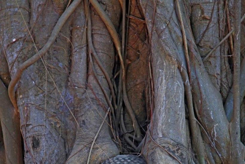 Roosilõhnaline kuldjuur (Rhodiola rosea) vähendab vigade tegemist