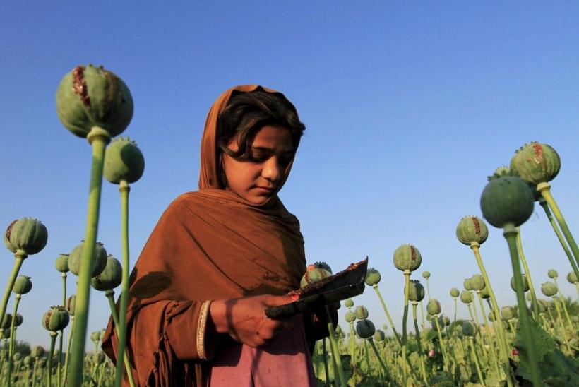Afganistani oopiumipõldude pindala on lõpuks vähenemas