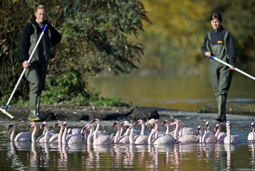 FOTOD | Saksamaa loomaaia flamingod kolivad talvekorterisse
