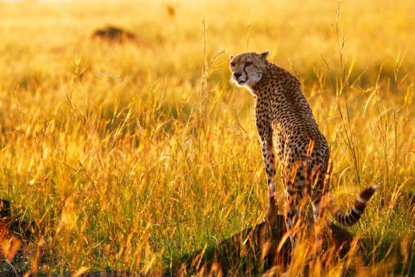 LEGOLAS ON SURNUD: veel üks kuulus Aafrika kiskja sai salakütilt kuuli