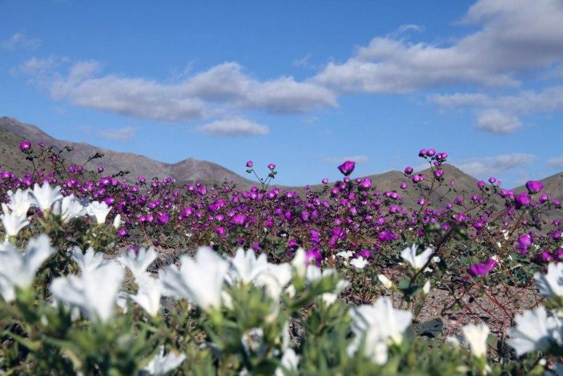 IMELISELT KAUNIS! Atacama kõrb puhkes õide