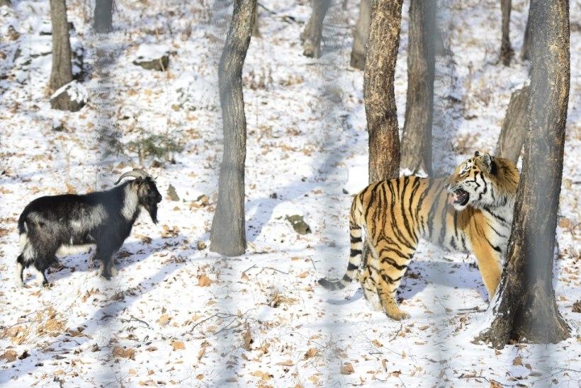 ÜLLATUS: amuuri tiiger sõbrunes talle elussöögiks toodud kitsega