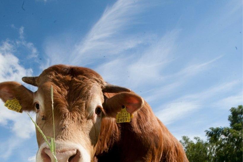 Magavad lehmad toodavad unerohuna mõjuvat piima