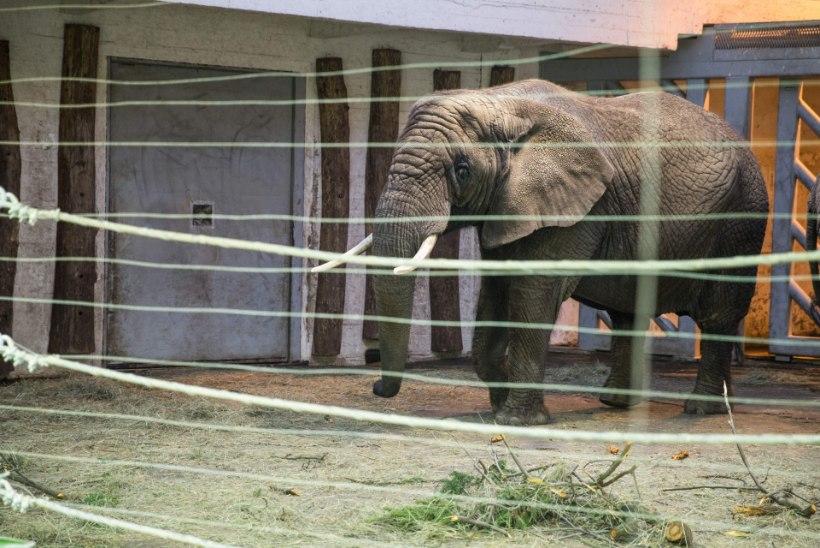Tragöödia elevandimajas - töötaja sai  muljuda