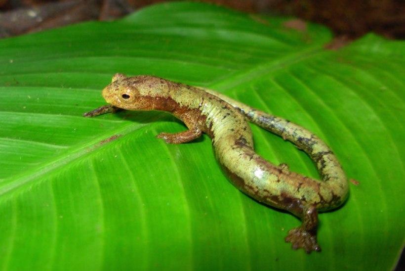 Hiinas avastati tohutult suur ja iidvana salamander