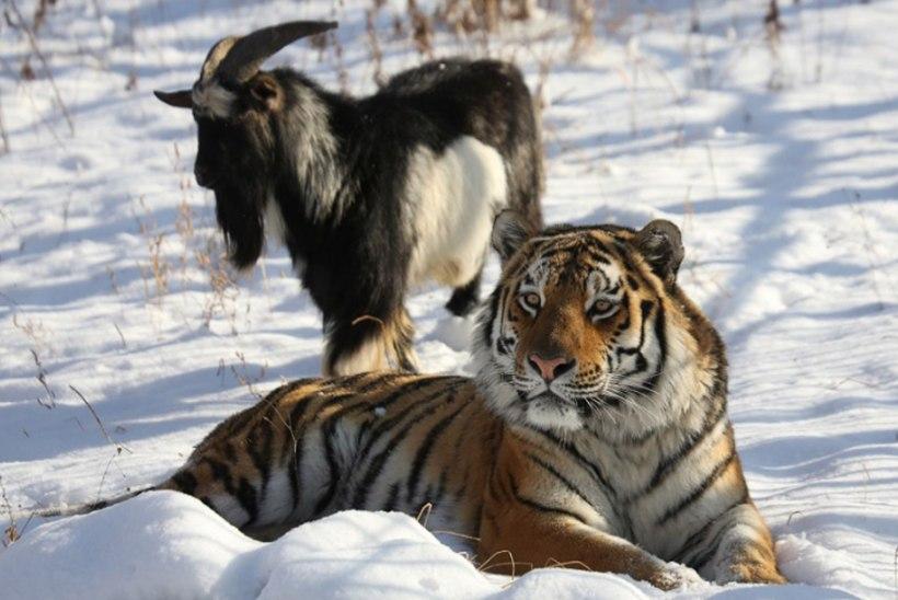 Tiigriga sõbrunenud kits võetakse ära ja asemele tuuakse noor pruut