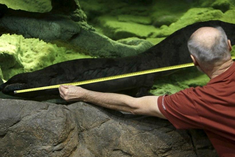FOTOD | Poolteist meetrit sabaga konna: maailma suurim salamander elab Prahas