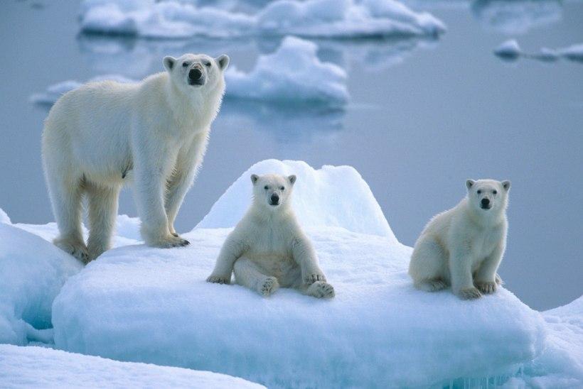 Jääkarude sugupuu paljastab: mõmmikud lapsendavad orvuks jäänud karupoegi