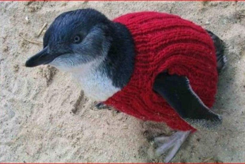 USKUMATULT ARMAS: Austraalia vanim mees koob pingviinidele kampsuneid