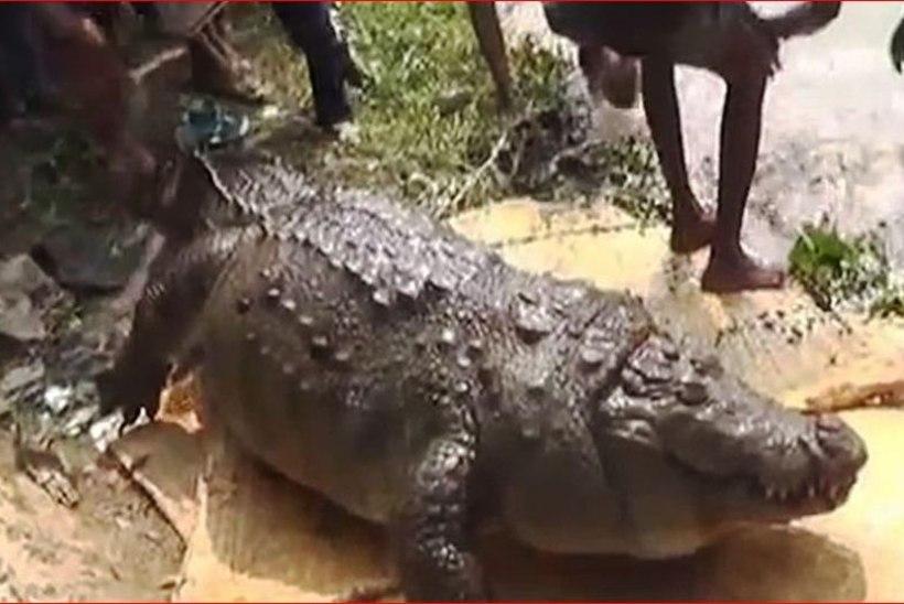 KAEVAS HAMMASTEGA HAUA: iidvana krokodill sõi end surnuks