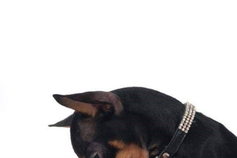Vapra koera kohtumine varastega lõppes traagiliselt